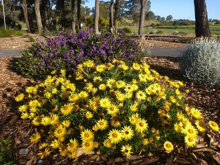 Xerochrysum bracteatum 'Diamond Head' with purple Hardenbergia