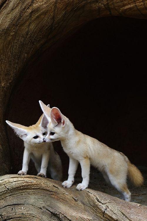 P es 1000 n pad na t ma fennec fox na pinterestu li ka - Pagina da colorare fennec fox ...