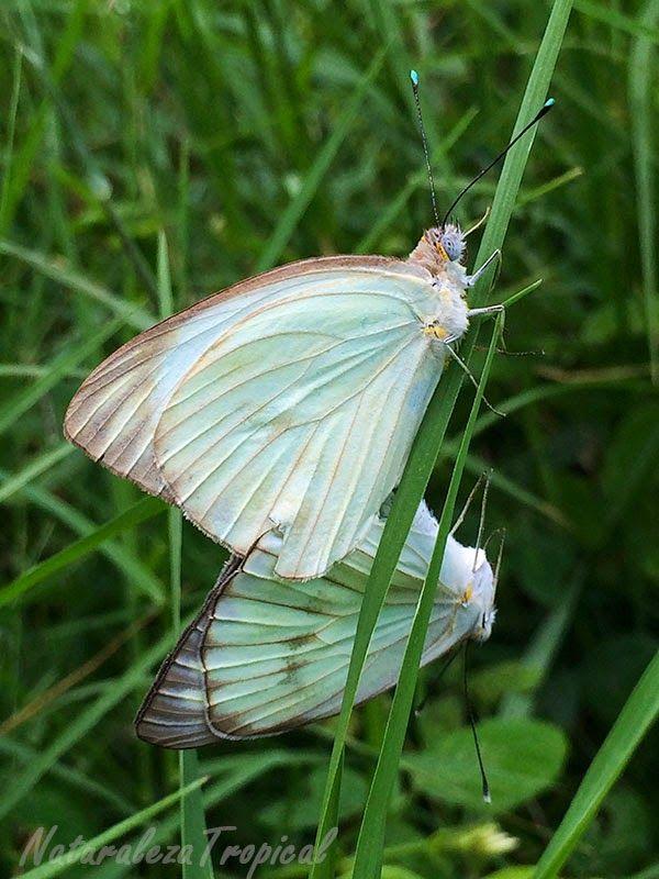 Reproducción de las mariposas