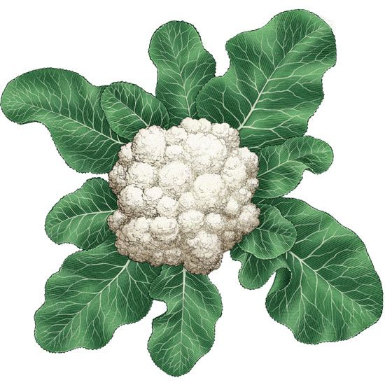 Growing cauliflower requires excellent soil and close attention to planting dates, so that the plants mature in cool weather. But when vigorous cauliflower varieties are planted at the right time, robust cauliflower plants produce excellent crops. This guide includes descriptions of the types of cauliflower and tips for getting a great cauliflower harvest. From MOTHER EARTH NEWS magazine.