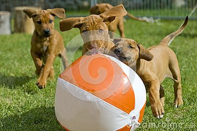Adorable little Rhodesian Ridgeback puppies playing together in garden. There are running as a gang behind a big water ball.  Funny expressions in their faces. The little dogs are five weeks of age.