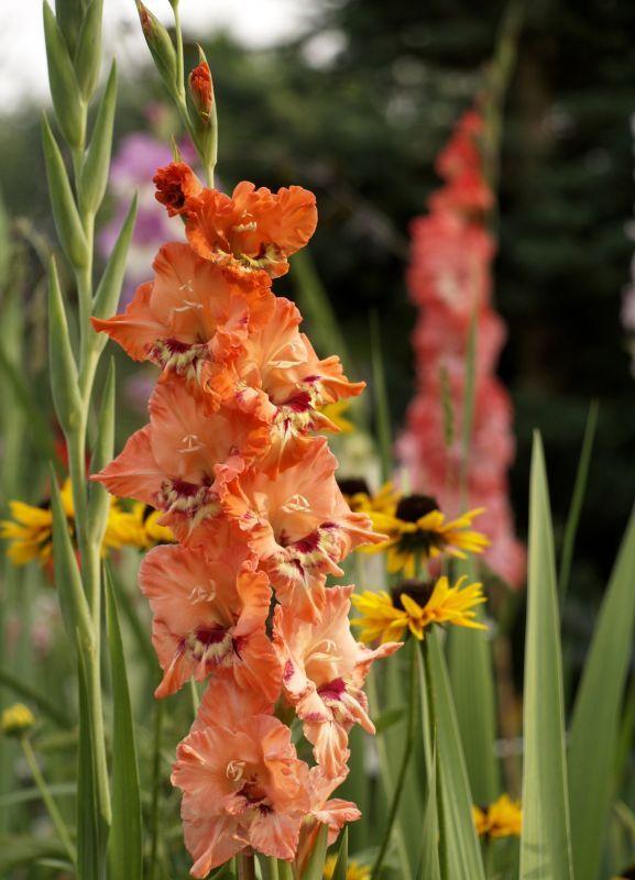 Zielono Zakręceni: Przysypani Tęczą Kwiatów czyli ogród Kryzysowej i Qry (10/11)