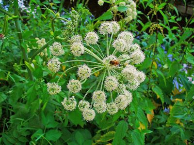Growing Angelica Herb