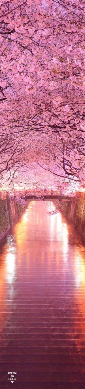 Cherry Blossom Walk in Japan