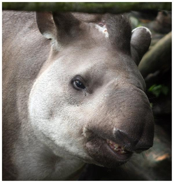 33 Best Images About Tapir, Tapirs On Pinterest