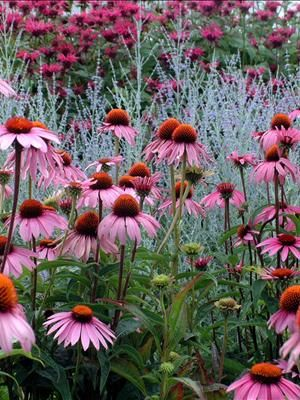 Purple coneflower (Echinacea purpurea)  in the foreground, Russian Sage (Perovskia atriplicifolia) in the middle, and Bee Balm (Monarda didyma) in the background.  A GREAT COMBINATION!