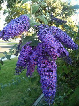 Butterfly Bush - Nanho Purple Buddleia Premium Plant