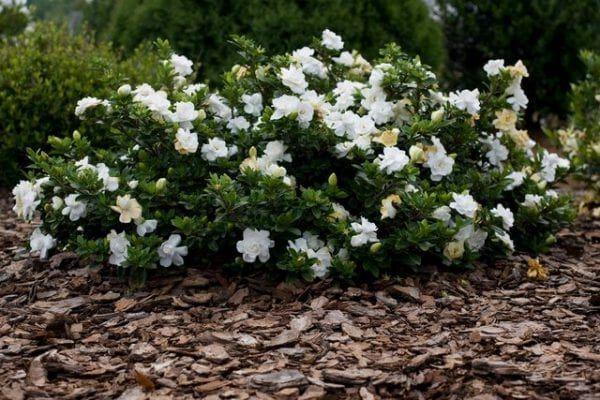 Gardenia Jasminowa Radicans Zimozielony Niski Krzew With Images