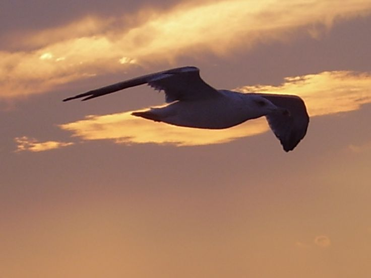 seagull over the Aegean Sea