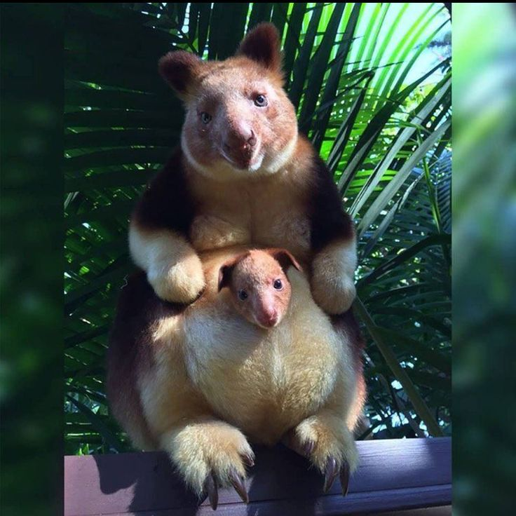Perth Zoo celebrated the birth of the first tree kangaroo born there in 36 years