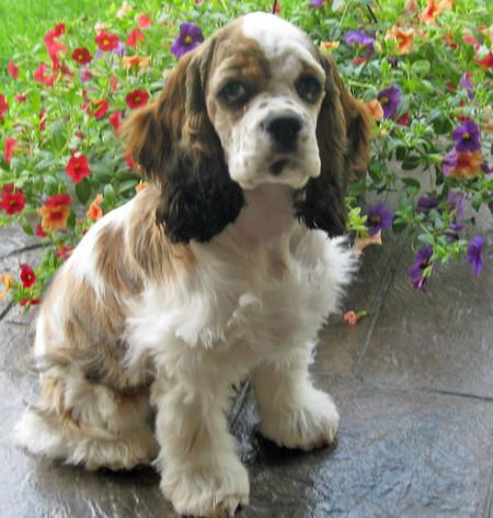 how cute, cockers spaniels are the best