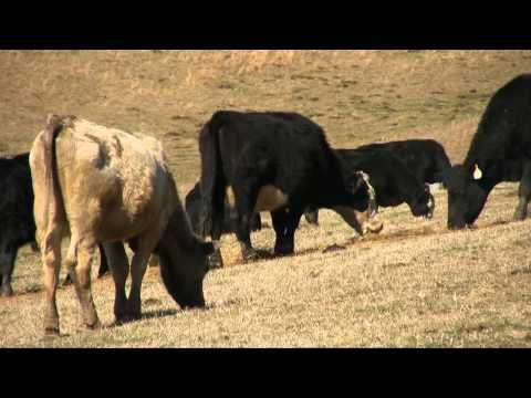 ▶ Cow Video for Kids - YouTube