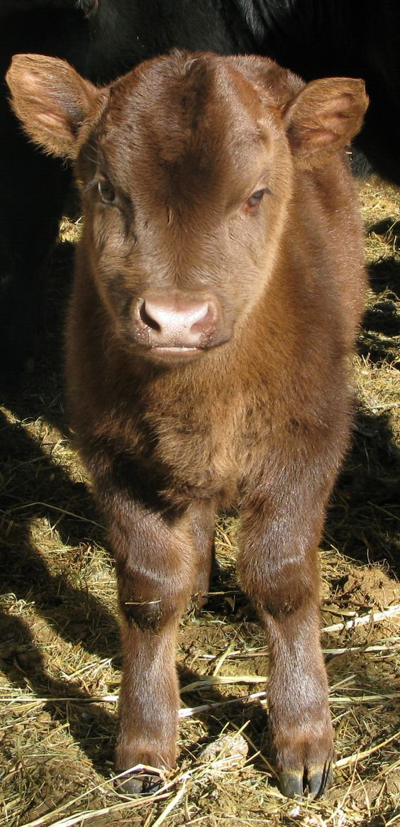 Mini cow!!! So adorable. Farm Photos from Monadnock Valley Beef and Bison http://everythingfarm.com/