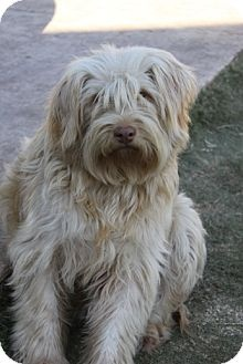 wheaten terrier rescue texas 80 best images about wheaten terrier mix on pinterest 9830