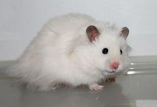 Off-white Syrian Hamster (longhair)   Wonderland's Hamstery
