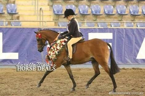 Show Riding Pony Type