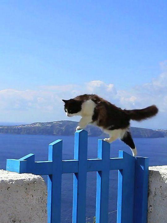 The cats of Santorini Island, Greece
