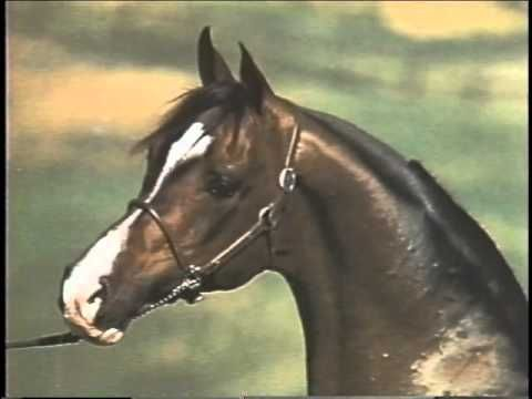 TheLegend of Khemosabe, Arabian champion stallion   YouTube