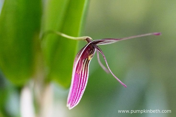 Restrepia purpurea 'Rayas Vino Tinto' is a very free flowering miniature orchid. Its attractive, eye catching, striped blooms have been admired by any visitors I have received.