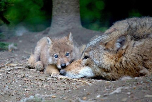 A Mongolian wolf pup and her mom