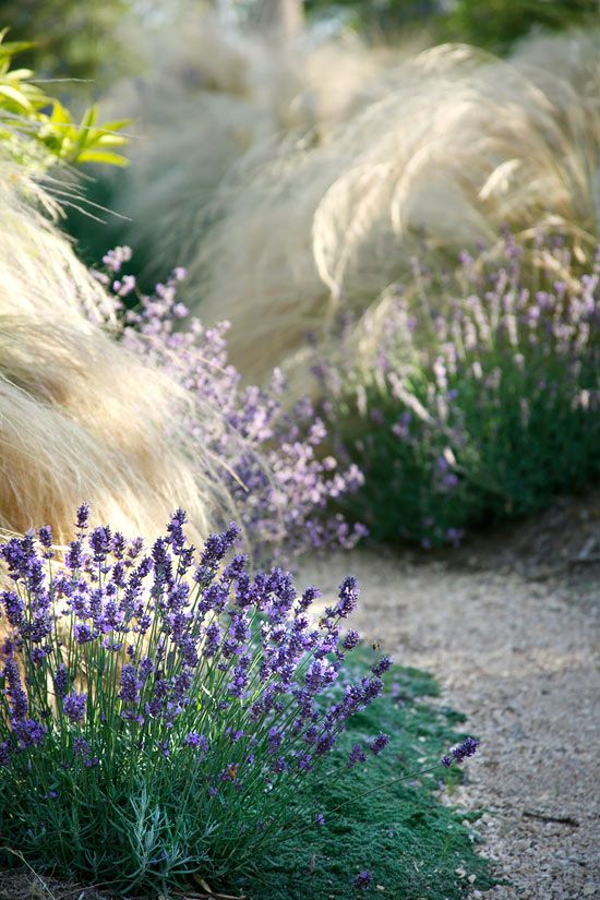 Landscaping Design Tips from Margie Grace - Traditional Home lavender & stipa