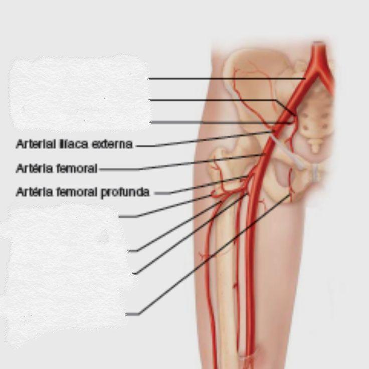 Magnífico Anatomía De La Arteria Femoral Foto - Anatomía de Las ...