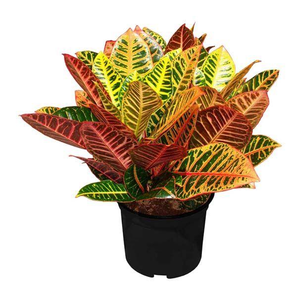 105 best plantas images on pinterest - Plantas de sombra ...