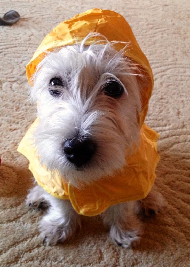 My West Highland Terrier (Westie), Scout!