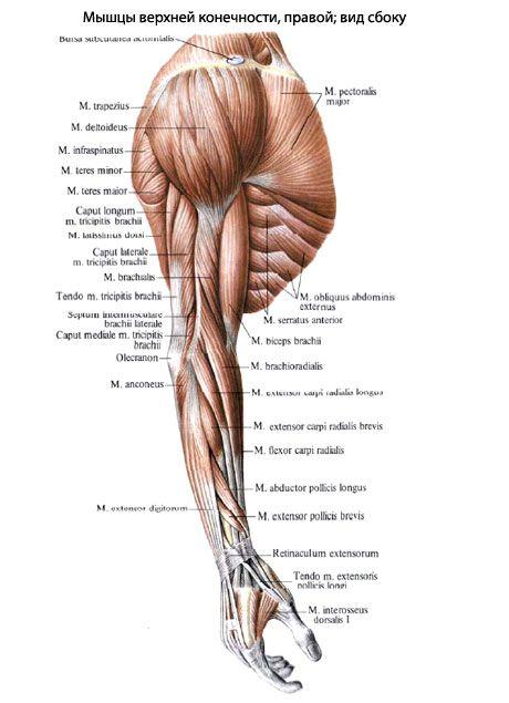 женская анатомия мышцы - Поиск в Google