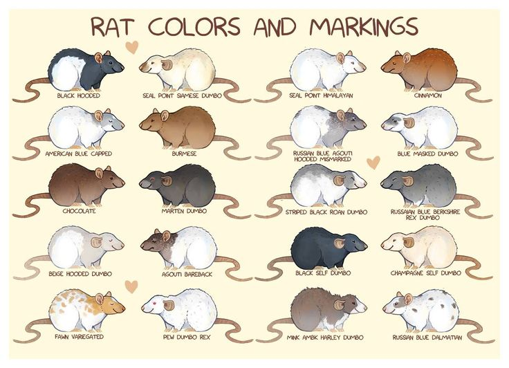 Rat colors and markings
