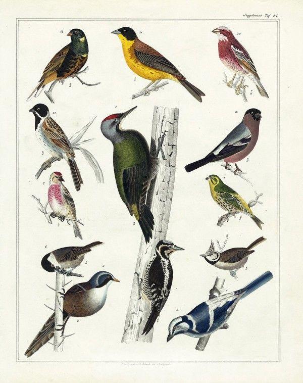 Over 25 Free Vintage Bird Printable Images   Remodelaholic com