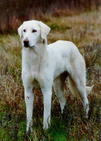 I've never heard of the Akbash until today, but what a beautiful dog. Акбаш