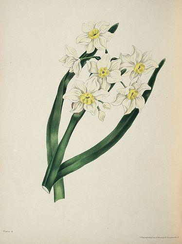 El significado de las flores: El narciso de hojas copo de nieve: Egocentrismo y narcisismo.