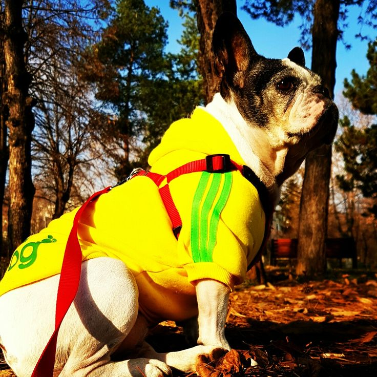 #Selly #MyFrenchie #MyBaby #BeautifulFrenchie #Frenchie Pictorial