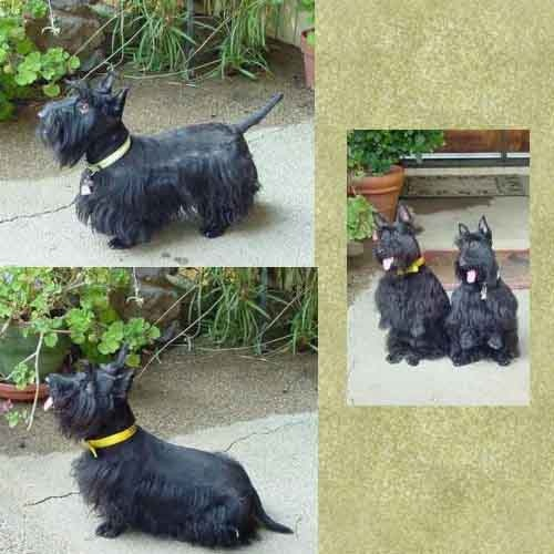 Scottie Terrier   So good they are LOYAL and TRUE