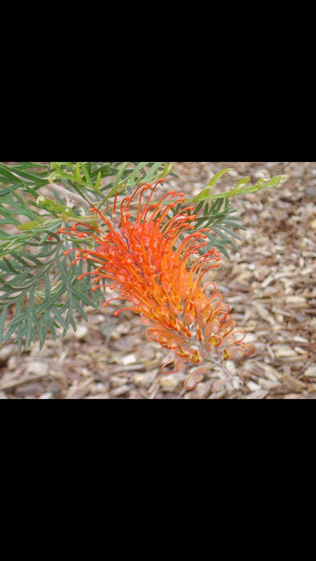 Grevillea Orange Wow