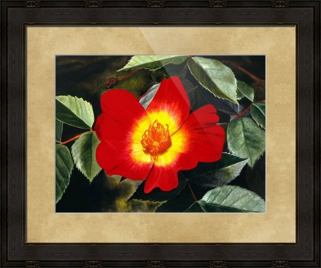 """""""Red Rose"""" by Matthew Bates, Firenze, Italy // This little rose grew in my garden and I made it large by painting it in all of its splendor. By buying an art print today you can share the magic in your home or office.When you buy this or any other of my Imagekind(TM) prints, send them to me and I will personally sign the... // Imagekind.com -- Buy stunning fine art prints, framed prints and canvas prints directly from independent working artists and photographers."""
