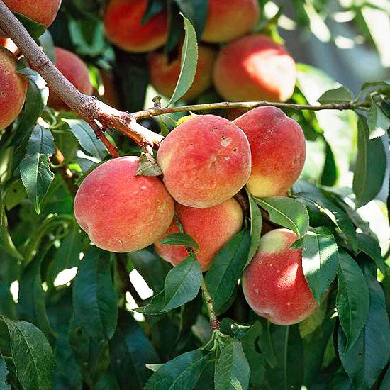Learn how to grow peaches for a fresh, fabulous summer fruit harvest.