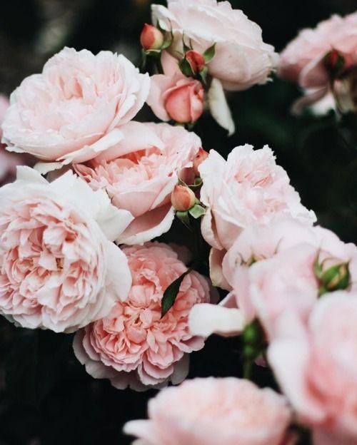 http://woodland-faeries.tumblr.com/post/158316725405/andantegrazioso-roses-delight-theriftbowral