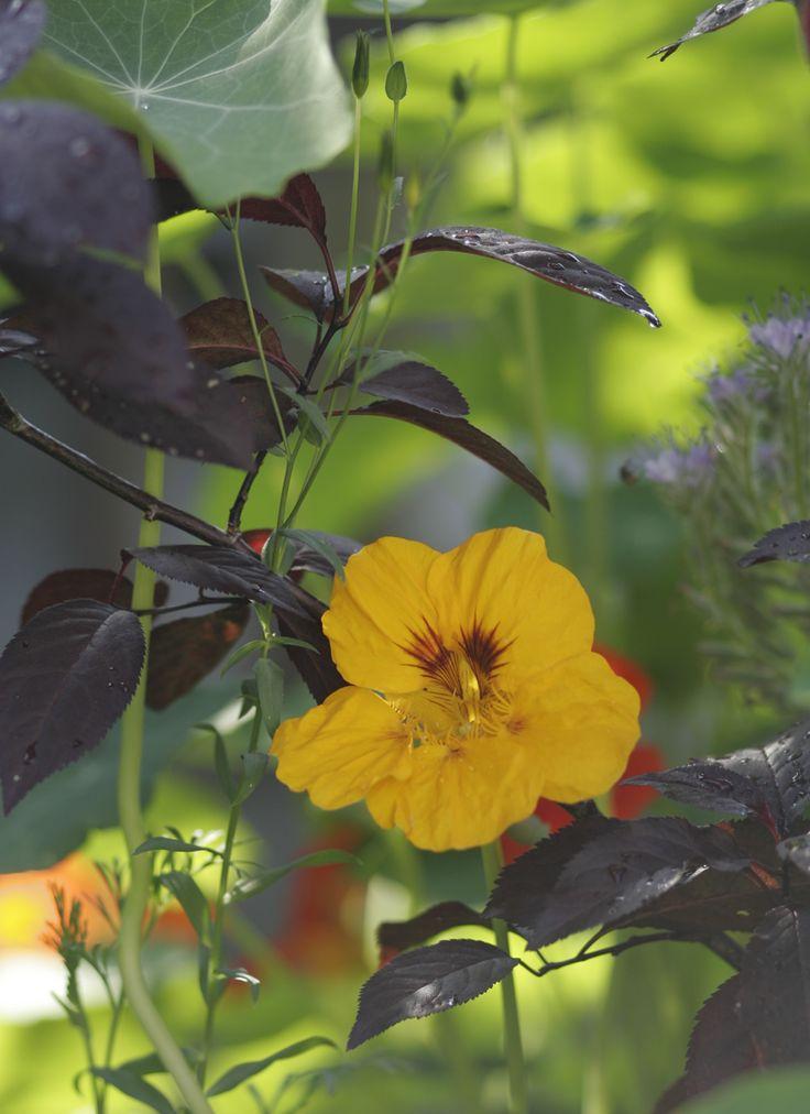 Kapuzinerkresse in den Garten oder auf den Balkon pflanzen
