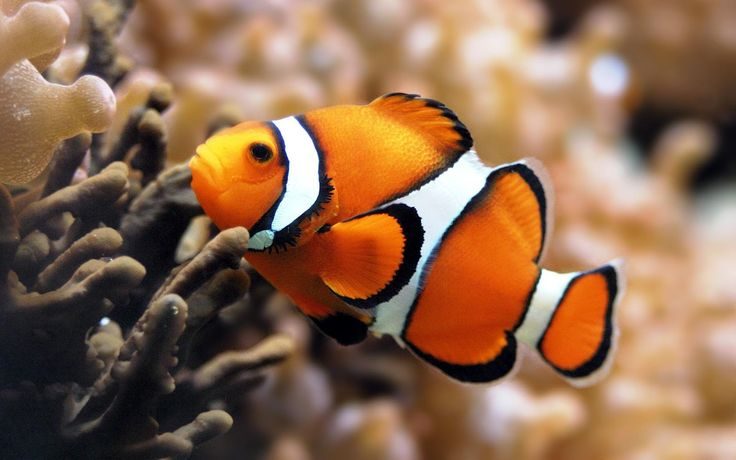 orange animals | HD animal wallpaper with a orange tropical fish | HD orange fish ... orange animals | HD animal wallpaper with a orange tropical fish | HD orange fish ...