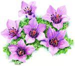 nunavut provincial flower....- Purple saxifrage