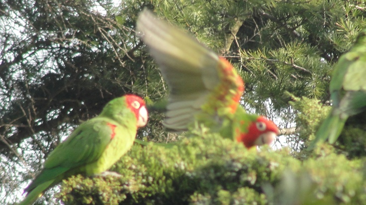 Wild parrots of Telegraph Hill, S.F.