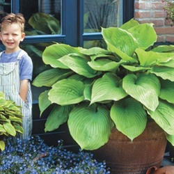 Botanical Name: 	Hosta 'Sum and Substance'  Form: 	Herbaceous perennial  Sun Exposure: 	Shade/Partial Shade  Height/Habit: 	2 - 3'  Spread: 	3 - 4'  Spacing: 	3 1/2 - 4'  Hardiness Zone: 	Zones 3 - 8  Foliage Type: 	Large, heart-shaped leaves 1' or longer. Chartreuse green or more yellow in sun.  Flower Form: 	Narrow funnel-shaped flowers on scapes above the foliage.  Flower Color: 	Lavender  Flowering Date: 	Mid to late summer.  Planting Requirements: 	Morning sun with afternoon shade is…