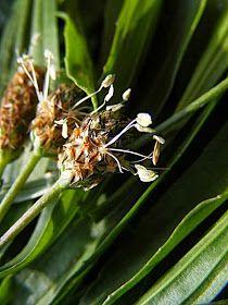 A Lándzsás útifű (Plantago lanceolata) ismert nyálkaoldó és köhögéscsillapító szer.        ...Lándzsás útifű és virágja...         N...