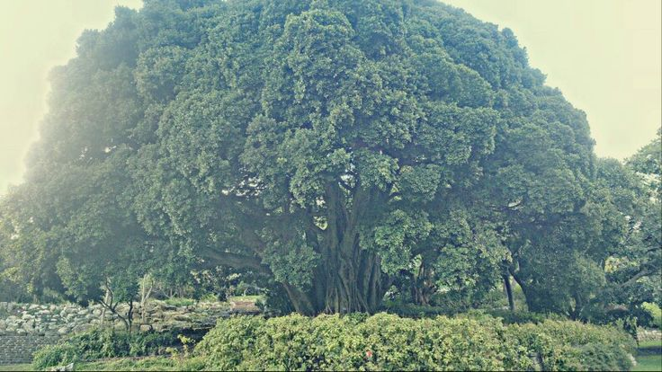 Huge Tree At Kirstenbosch Botanical Gardens In Cape Town.