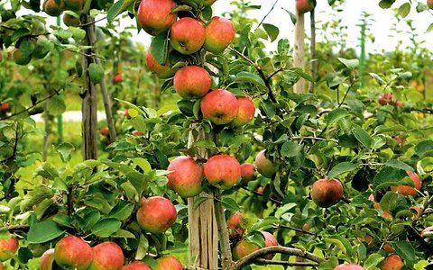 Õunakasvataja soovitab: milline õunasort aeda istutada - Maakodu.ee