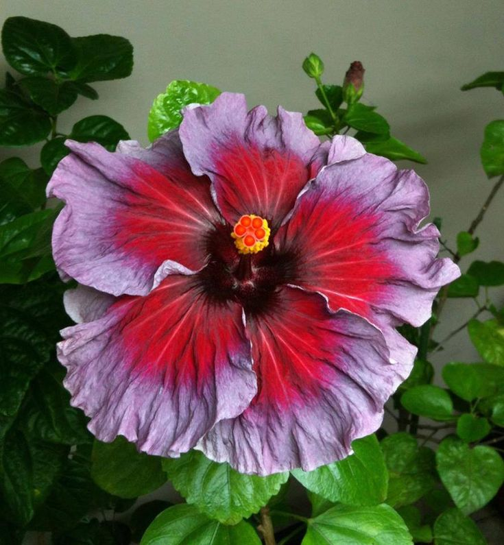 Beautiful Unique Flowers: 17 Best Images About Hibiscus On Pinterest