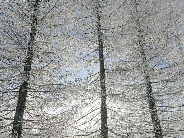 Lehtikuusten varjossa - L.decidua Larix sibirica lehtikuusi lehtikuuset luminen lumiset kuurainen kuuraiset talvella vastavalo sinitaivas valkoiset talvitunnelma talvivalo puu puut