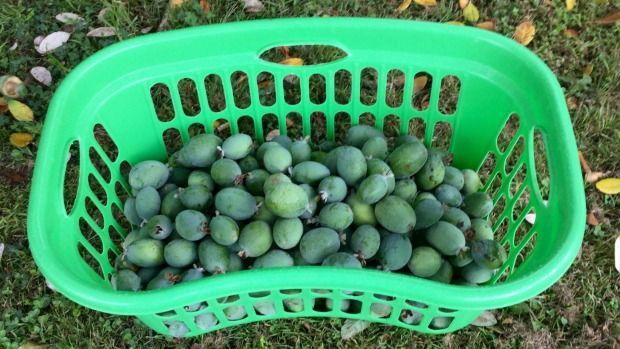 A Kiwi fruit favourite.